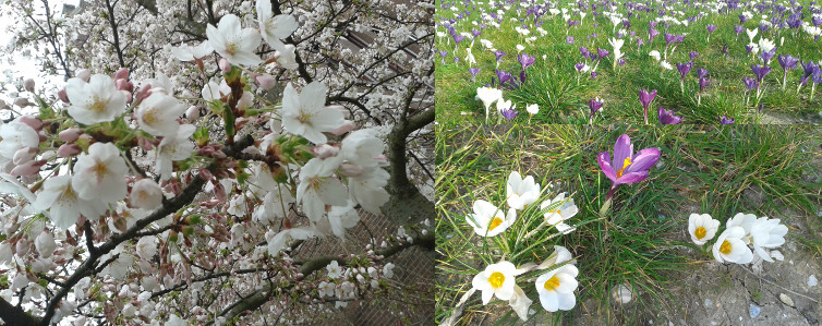 Sakura and crocuses.