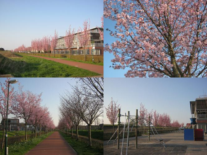 Sakura in Houten, The Netherlands