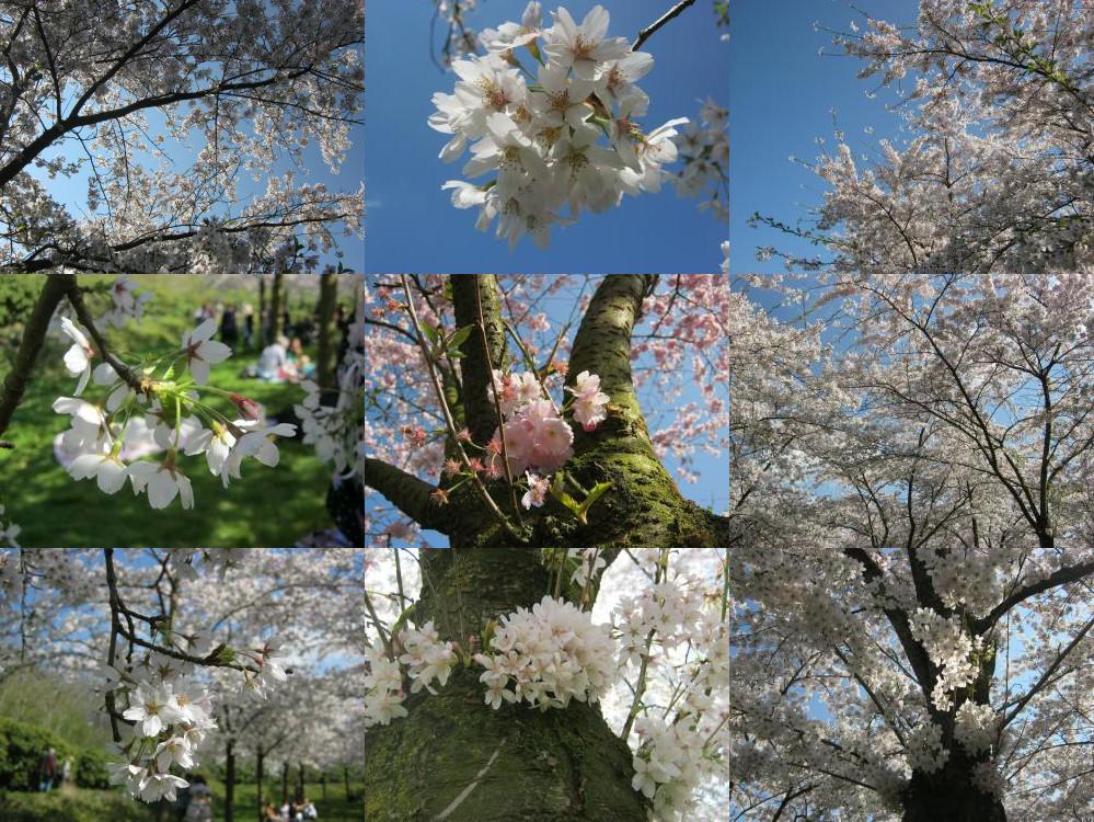 Sakura in Amstelveen